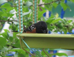 Spotted Towhee, aka Red-eyed Towhee (tlhowes2012) Tags: backyardbirds