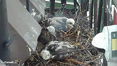 sleeping young (Cornell Lab of Ornithology) Tags: bird nest cams cornell redtailedhawk nestlings labofornithology cornelllabofornithology