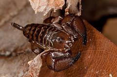 Dwarf Wood Scorpion [ Liocheles australasiae] (kkchome) Tags: nature fauna asia wildlife places scorpion sarawak malaysia kuching liochelesaustralasiae dwarfwoodscorpion