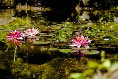 Parco giardina Sigurta' (Melania_2011) Tags: italy lake flower nature lago garda italia natura valeggiosulmincio ninfee giardinosigurta