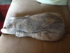 (lifewithpets44) Tags: pets cat kitten cutie queen shorthair british britishshorthair maci bestofcats catstagram catsofinstagram instacats uploaded:by=flickrmobile flickriosapp:filter=nofilter kittyoftheday kittysofinstagram macikins