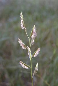 Photo - Prairie Cord Grass