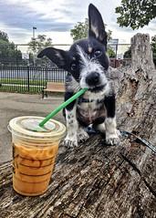 Mmmmm! Starbucks Iced Coffee! (Bill Adams) Tags: dog forest puppy forrest straw maryland baltimore starbucks icedcoffee bordercollie iphone locustpoint baltimorecity muttpuppy cattlejack locustpointdogpark borderschnollie