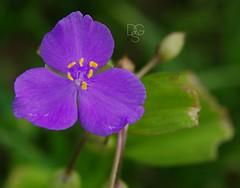 Look Out, Here Comes the Spiderwort! 1 (DGS Photography) Tags: flower home yard blossoms lavender vanburen bloom arkansas blooms wildflower spiderwort fifthflower quintaflores tradescantiaernestiana