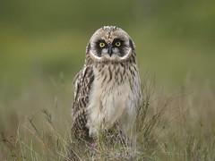 Short-eared Owl 21 (brandugla) (Svenni and his Icelandic birds.) Tags: shortearedowl asioflammeus brandugla
