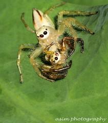 mating garden spider (asim chaudhuri(anurupa_chowdhury_yahoo.co.in) Tags: macro nature canon spider mating