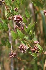 Groundnut (Apios americana) 08-20-2013 Kings Landing Park, Calvert Co. MD 2 (Birder20714) Tags: plants beans maryland americana fabaceae apios