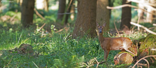 Roe deer doe, New Forest
