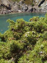 Juniperus oxycedrus L. subsp macrocarpa (Sibth. & Sm.) Ball 1878) - Maritime Juniper (Peter M Greenwood) Tags: maritime juniper subsp juniperus juniperusoxycedrus oxycedrus juniperusoxycedrussubspmacrocarpa maritimejuniper
