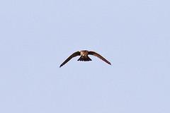 032034-IMG_6499 American Kestrel (Falco sparverius) (ajmatthehiddenhouse) Tags: usa bird colorado americankestrel falco falcosparverius sparverius 2013