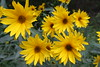 Farwell to the Golden days of Summer! (sylkky2) Tags: flowers flores nature floral fleur sunshine yellew