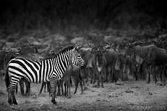Zebra Against Wildebeest Herd - Masai Mara, Kenya (urszulakozak) Tags: africa wild portrait blackandwhite bw toronto elephant green art nature animal canon photography buffalo kenya wildlife ottawa fineart lion zebra prints cheetah giraffe hippo lioness masaimara kozak urszula