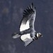 Male Andean Condor Gliding in a Truly Majestic Landscape of the Colca Canyon Peru South America