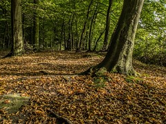 (josno78) Tags: autumn fall nature leaves automne season leaf woods forrest hood foret motherearth saison uploaded:by=flickrmobile flickriosapp:filter=nofilter