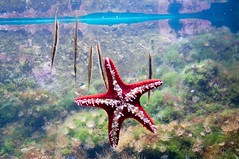 Rode stekelzeester - Scheermesvis / Red knobbed sea star - Razorfish (Den Batter) Tags: zoo nikon razorfish ouwehands dierentuin dierenpark zeester aeoliscusstrigatus protoreasterlinckii rodestekelster d5000 redknobbedseastar scheermesvis