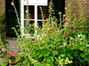 Herinnering aan een mooie zomer . (Franc Le Blanc .) Tags: flowers summer nature garden lumix panasonic tuin stokrozen doeveren lovelyflickr