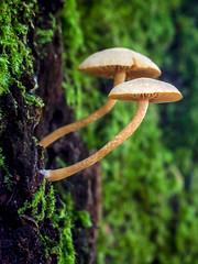 Mushroom (RPMarques) Tags: fall portugal nature mushroom sony braga slt outumn a55 cabanelas minoltaamount
