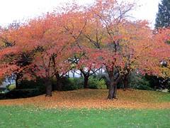 Cherry tree autumn grove (Ruth and Dave) Tags: park autumn trees red colour leaves vancouver cherry golden grove vibrant group seawall fallen falsecreek granvilleisland copse oeange sutcliffepark