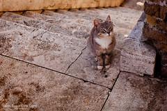 A cat from Largo di Torre Argentina (Irina Silayeva) Tags: sleeping cats rome animal cat blackcat ruins feline colosseum hiding romanforum straycat greycat romanruins gattidiroma romancats