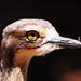 Bush stone curlew profile portrait