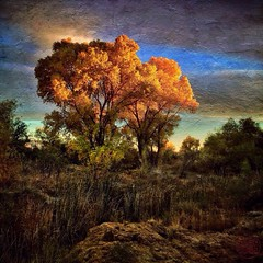 last light on the cottonwoods (allophile) Tags: trees arizona painterly texture square landscape tucson cottonwoods santacatalinamountains mobilephoneart mobilephotography iphoneart arizonapassages texturesquared iphoneography snapseed distressedfx