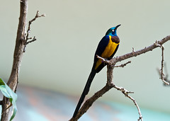 "Golden-Breasted Starling - Cosmopsarus Regius 4 • <a style=""font-size:0.8em;"" href=""http://www.flickr.com/photos/30765416@N06/11393116536/"" target=""_blank"">View on Flickr</a>"