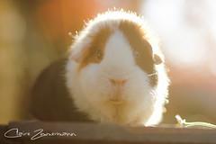 summer memories (magicmomentscatcher) Tags: guineapig teddy
