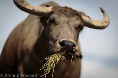 The snout / Le museau, Vietnamese buffalo (vietnamphotoadventures.com) Tags: buffalo vietnam hue riceharvest vietnamcountryside