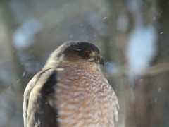 Sharp-shinned Hawk (East Norriton) (stinkenroboter) Tags: bird sharpshinnedhawk accipiterstriatus