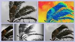 Wind! (Greenstone Girl) Tags: collage wind palmtree