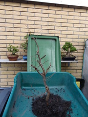 DSC06940 (jeremy_norbury) Tags: beds january bonsai growing patch repotting 2014