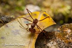 _-135.jpg (Jordan de Jong) Tags: southamerica nature colombia flickr hormigas ant jordan invertebrate dejong atta leafcutterant minibeast gorgona islagorgona