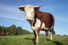 big cow standing (Digikuvaaja) Tags: blue summer sky food brown white green nature field grass animal rural standing season mammal one countryside cow looking cattle natural outdoor farm beef country farming young meadow farmland meat domestic pasture single environment organic agriculture livestock