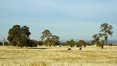 DSC_0019-a10 (stumbleon) Tags: california ranch rural landscape nikon day farm nikond70s farmland dslr grassland backroads sacramentocounty offtheinterstate grazingland ranchland cattlecountry californiabackroads pwpartlycloudy californiahighway104