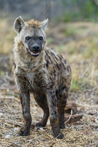 Waiting spotted hyena