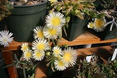 Sceletium sp. in bloom