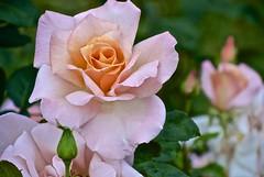 National Rose Garden (Sidneiensis) Tags: old house flower rose gardens garden australia parliament national canberra oldparliamenthouse canberraaustralia nationalrosegarden oldparliamenthousegardens