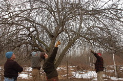 "Apple Pruning: A Group Effort <a style=""margin-left:10px; font-size:0.8em;"" href=""http://www.flickr.com/photos/91915217@N00/13528201255/"" target=""_blank"">@flickr</a>"