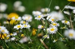 ~~Mli Mlo~~4 (Jolisa) Tags: flowers nature daisies spring printemps mlange marguerites mlimlo fleursdeschamps avril2014