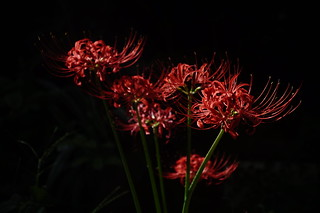 spider lily(彼岸花)