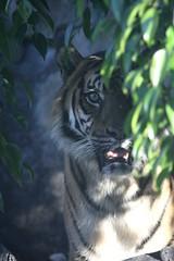 25-05-2014-taronga 1651 (tdierikx) Tags: tiger satu taronga tarongazoo 25052014taronga tdierikx