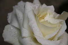 Crying Rose (vavie2012) Tags: white primavera rain rose spring lluvia pluie rosa blanca blanche printemps