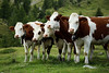 Les filles de férisson (ilik8) Tags: france green cow milk paca belvedere 06 animale ferme vache mercantour fromagerie vésubie