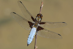 Broad-bodied Chaser, Libellula depressa (willjatkins) Tags: dragonflies dragonfly britishwildlife chaser libellula odonata pondlife broadbodiedchaser libelluladepressa ukwildlife britishdragonflies ukdragonflies britishdragonfly hertfordshirewildlife ukdragonfly britishodonata ukodonata ukdragonfliesanddamselflies hertfordshireodonata hertfordshiredragonflies hertfordshiredragonfly