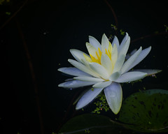 DSC_27973 (Don Weiss) Tags: flower waterlily nikond5100