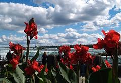 Flores rojas (Canna indica) en cataratas Niágara, Canadá. (eustoquio.molina) Tags: canada fall flor niagara ave cielo catarata nube canna biri indica capacho achira sagú achera cucuyús juquián risgua cañadeindiaopapantla