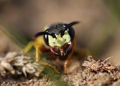 European BeeWolf (Animal Al 18) Tags: uk macro insect 50mm suffolk wasp entomology weststow hymenoptera beewolf diggerwasp extentiontubes solitarywasp europeanbeewolf canon70d philanathustriangulum