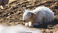 Highlander (Nicola Pezzoli) Tags: nature snow winter val italy tourism colors dolomites dolomiti mountain gröden alto adige fassa rifugio friedrich august hütte animal white cute