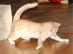 Salvia (andymiccone) Tags: cat katze katt kissa feline tabby chat gato white angora animal beautiful cute pet domestic heyni kitten heini siberian salvia laser beam play