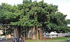 Honolulu - Banyan Trees by Iolani Palace - 2017 (tonopah06) Tags: hawaii hi honolulu city capitol 2017 banyantree trees banyan iolanipalace